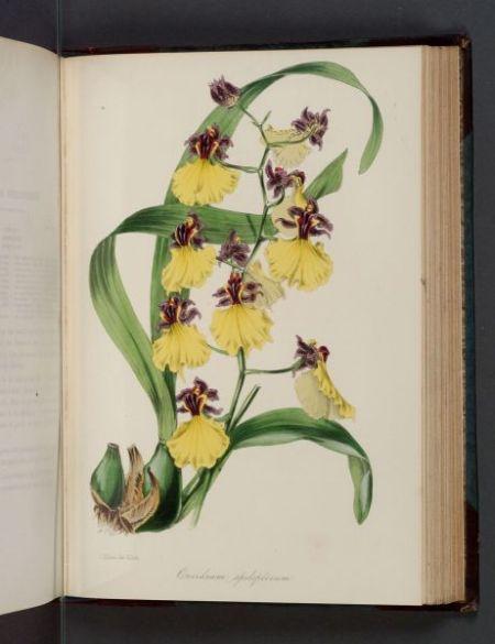 (Botanical)