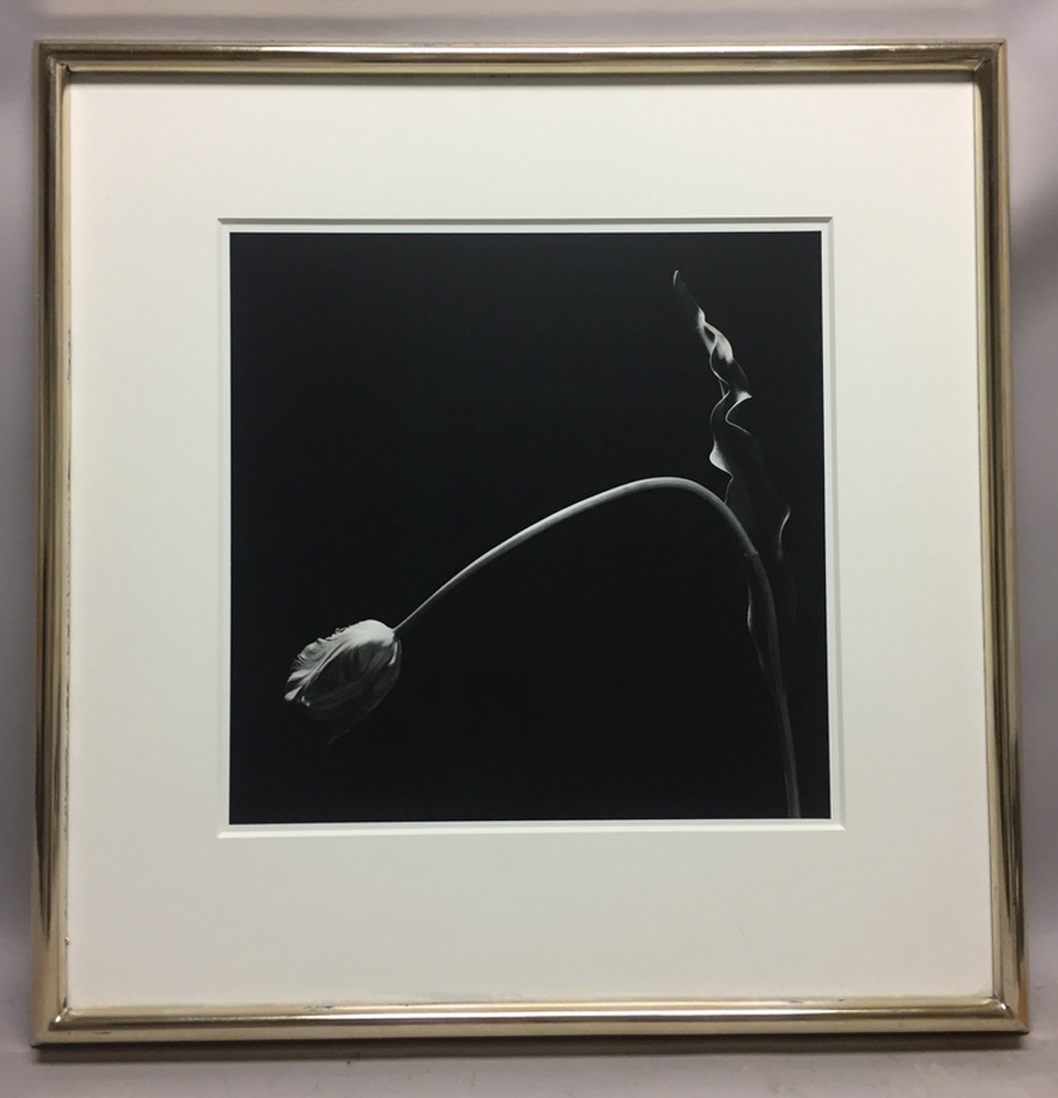 Robert Mapplethorpe (American, 1946-1989)      Tulip