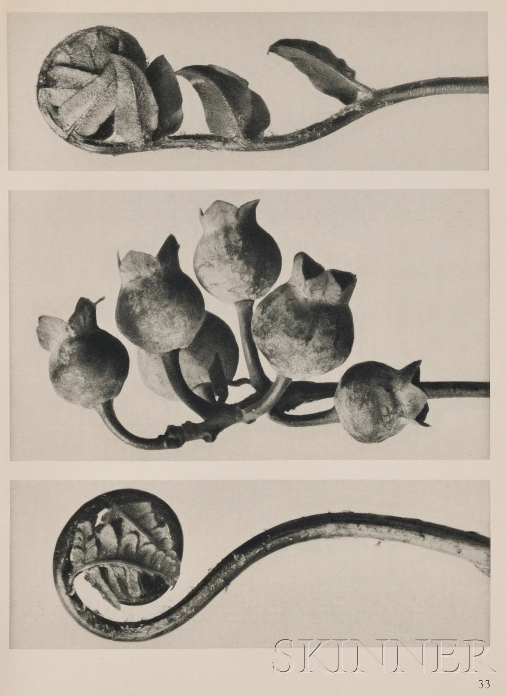 Blossfeldt, Karl (1865-1932)