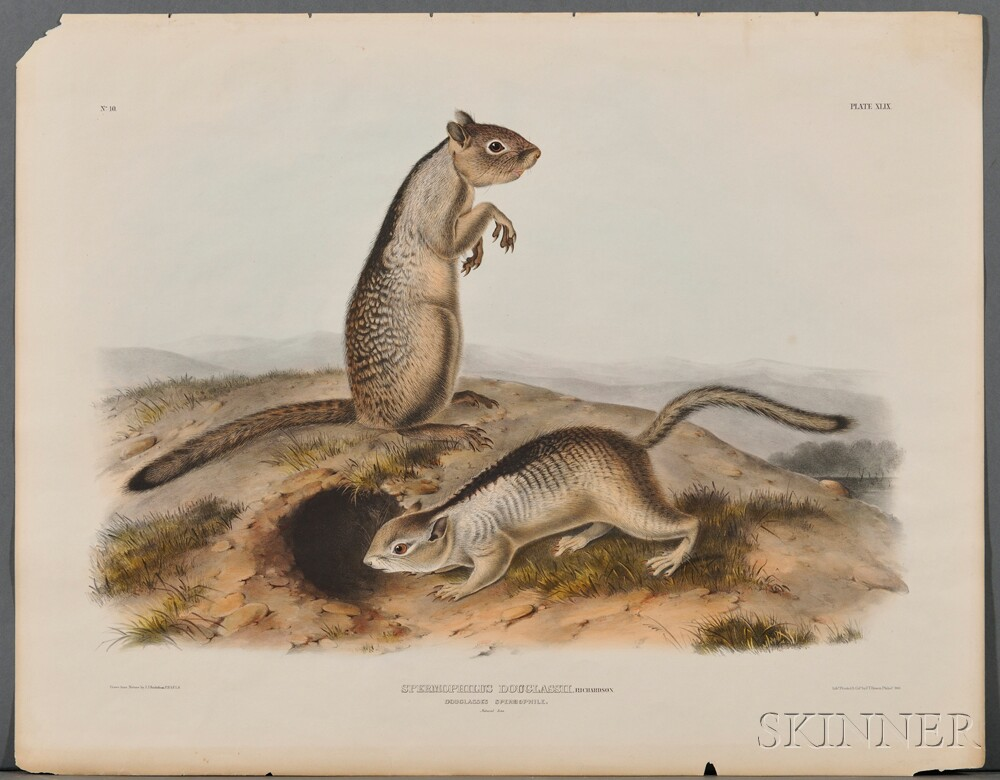 Audubon, John James (1785-1851) Douglasses Spermophile  , Plate XLIX.