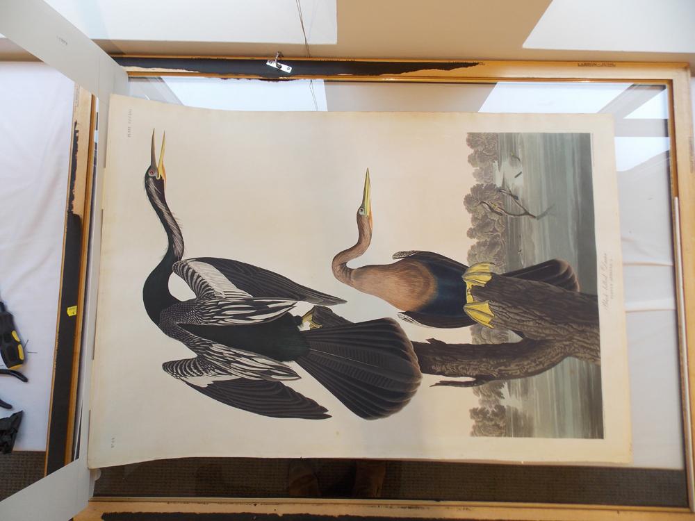 Audubon, John James (1785-1851) Black-bellied Darter,   Plate CCCXVI.
