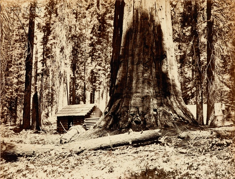 Carleton E. Watkins (American, 1829-1916)      In the Maripose Grove