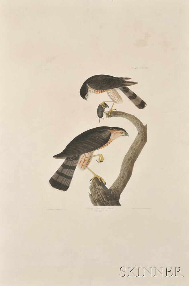Audubon, John James (1785-1851) Sharp-shinned Hawk ,  Plate CCCLXXIV.
