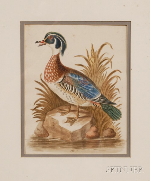 George Edwards, engraver (British, 1694-1773)      Summer Duck of Catesby.