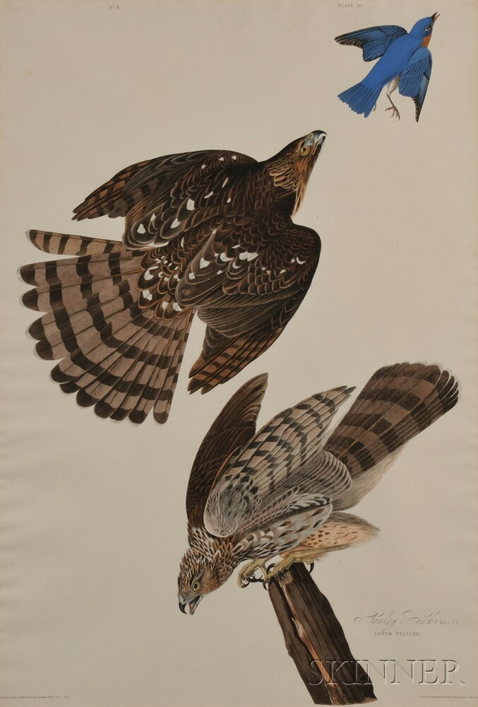 Audubon, John James (1785-1851) Stanley Hawks  , Plate 36.