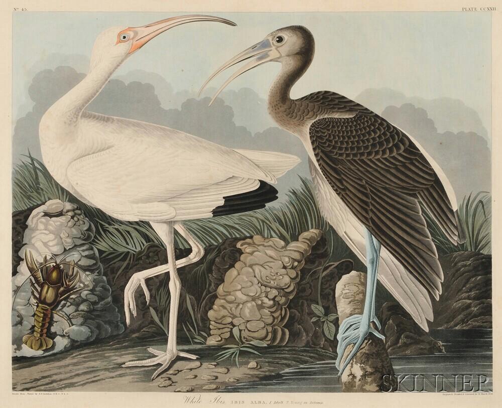 Audubon, John James (1785-1851) White Ibis  , Plate CCXXII.