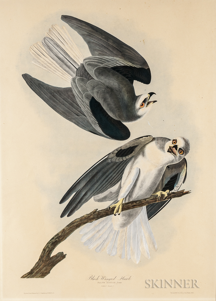 Audubon, John James (1785-1851) Black Winged Hawk.