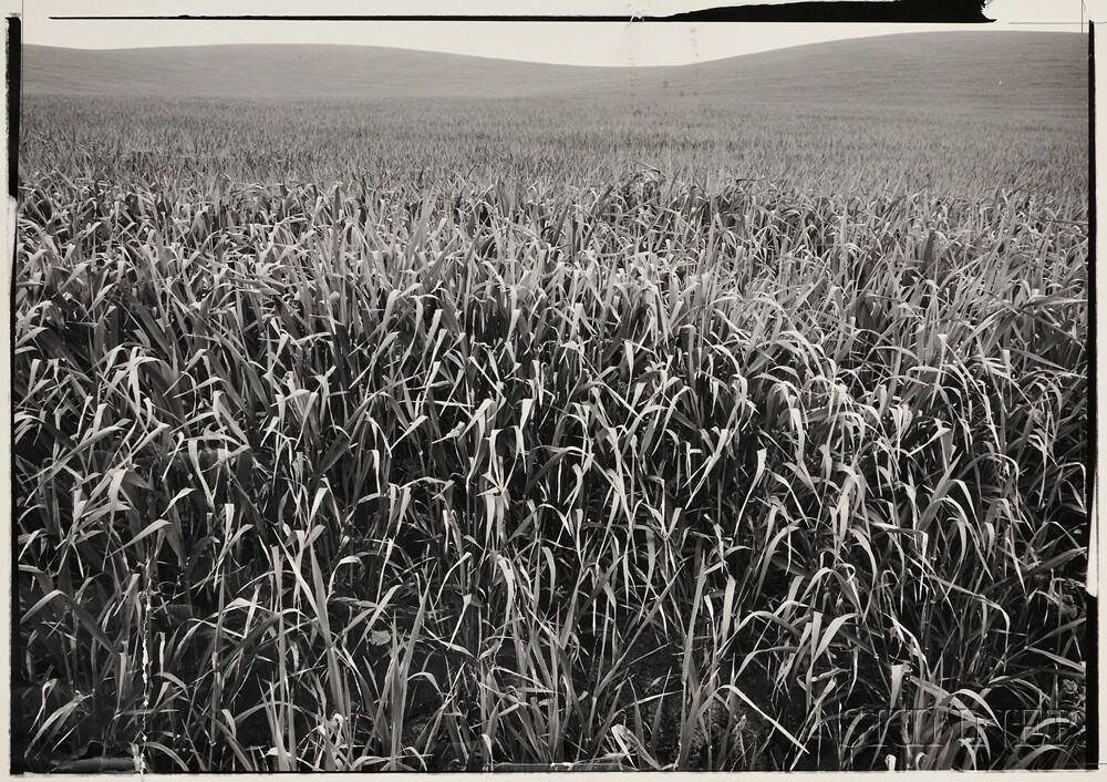 Ansel Adams (American, 1902-1984)      Field of Grasses, Laguna Niguel