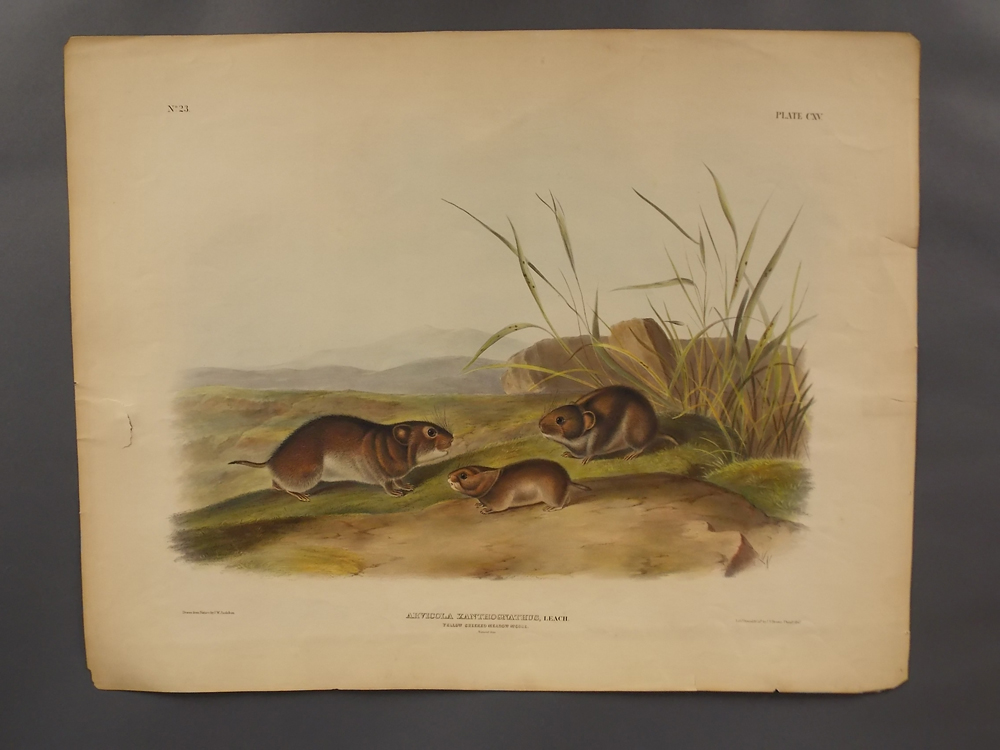 Audubon, John James (1785-1851) Four Mouse Prints.