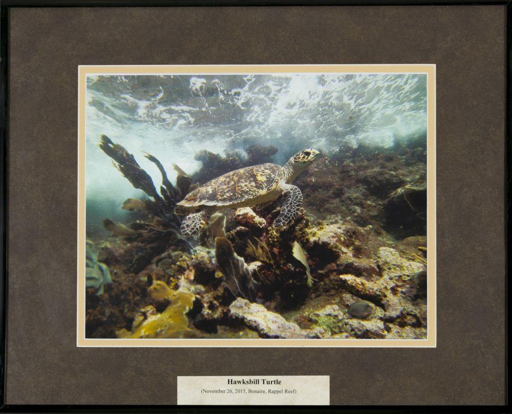 Gregg Carter, Ph.D. (Rhode Island, b. 1951),Hawksbill Turtle _ Rappel Reef