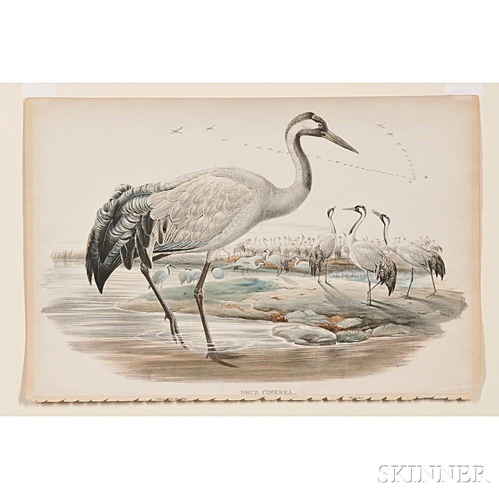 Gould, John (1804-1881) Grus Cinera   [The Common Crane].