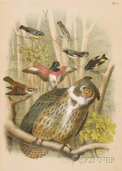 (Ornithology), Studer, Jacob Henry