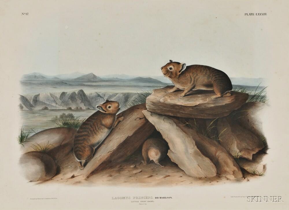 Audubon, John James (1785-1851) Little Chief Hare,   Plate LXXXIII.