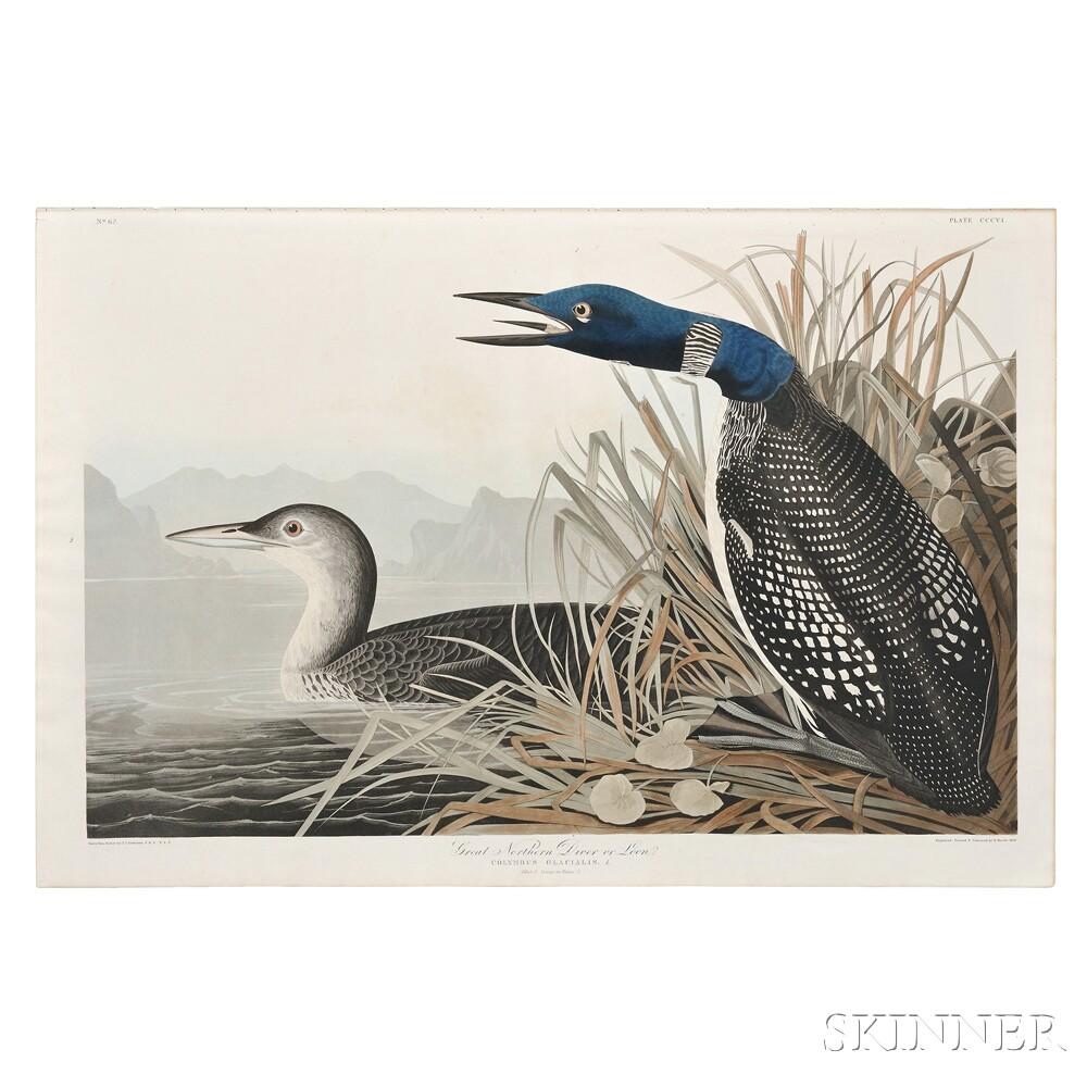 Audubon, John James (1785-1851) Great Northern Diver or Loon.    Plate CCCVI.