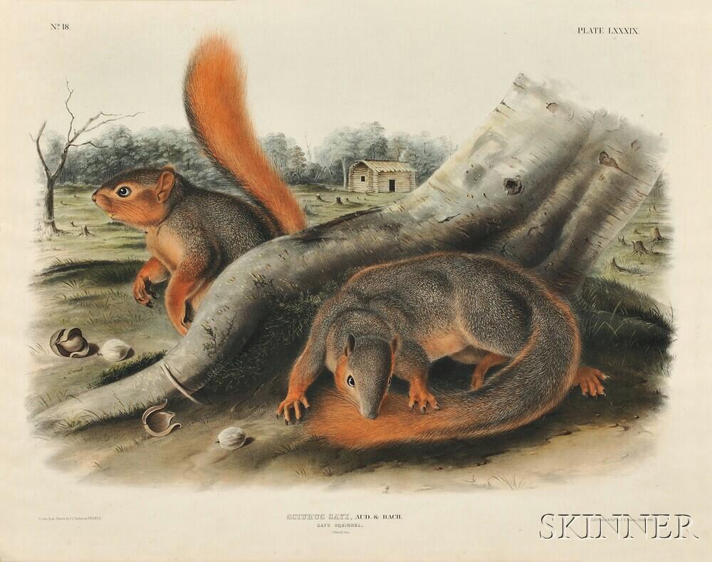 Audubon, John James (1785-1851) Say's Squirrel  , Plate LXXXIX.
