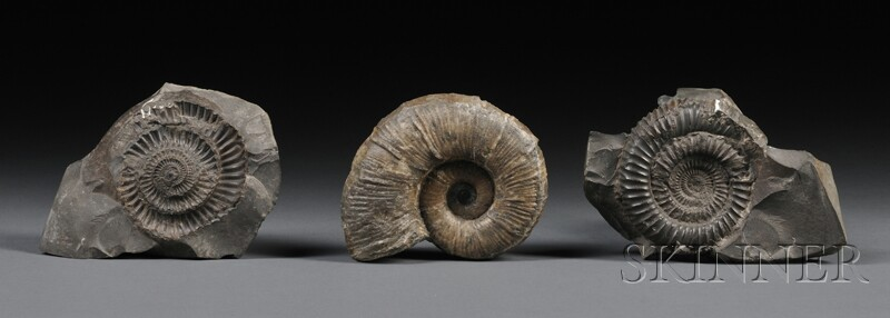 Three Ammonites