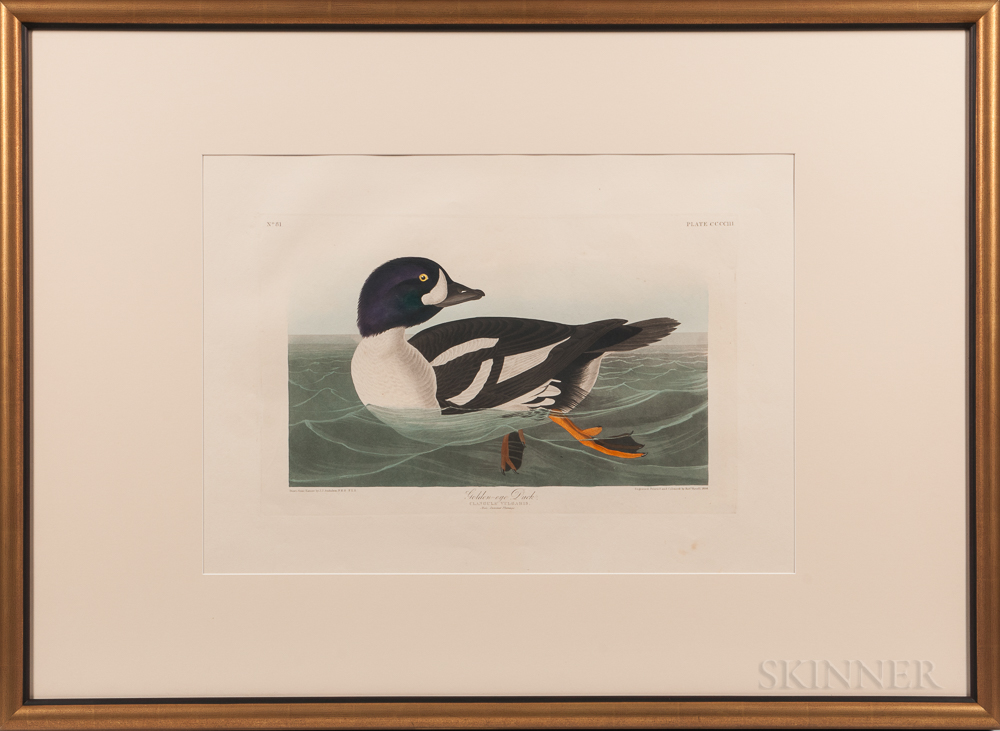 Audubon, John James (1785-1851) Golden-eye Duck  , Plate CCCCIII.