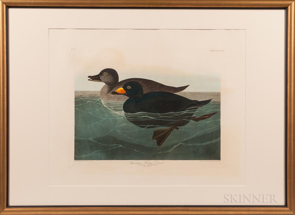 Audubon, John James (1785-1851) American Scoter Duck  , Plate CCCCVIII.