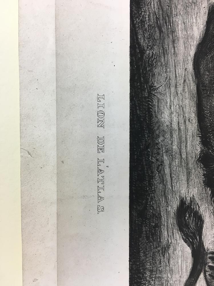 Eugène Delacroix (French, 1798-1863)      Lion de L'Atlas