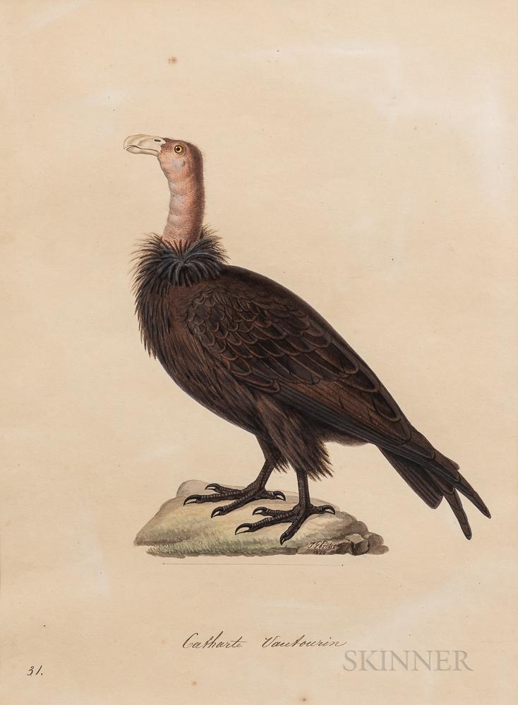 Temminck, Coenraad Jacob (1778-1858) Catharte Vautourin (Vulture).