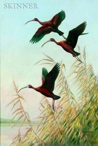 Roger Tory Peterson (American, 1908-1996)    Glossy and White-faced Glossy Ibis
