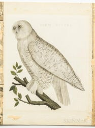 Sepp, Jan Christiaan (1739-1811) After Cornelius Nozeman (1720-1786) Strix Nyctea, Snowy Owl.