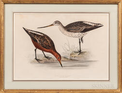 Gould, John (1804-1881) and Elizabeth Gould (1804-1841) Two Prints: Bar-Tailed Godwit and Grey Snipe.