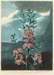 Robert John Thornton, publisher (British, c. 1768-1837)      The Narrow-leaved Kalmia