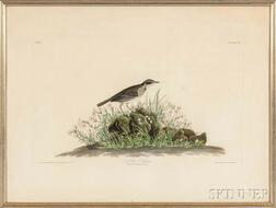 Audubon, John James (1785-1851) Anthus Hypogoaeus,   Plate 80.