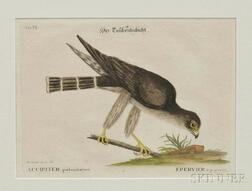 Catesby, Mark (1679-1749) Accipiter Palumbarius  , Plate VI.