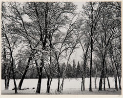 Ansel Adams (American, 1902-1984)      Young Oaks, Winter