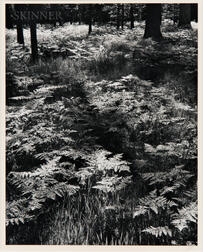 Ansel Adams (American, 1902-1984)      Ferns, Valley Floor