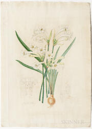 Fitch, Walter Hood (1817-1892) Original Watercolor, Cyrtanthus Lutescens  , c. 1868.