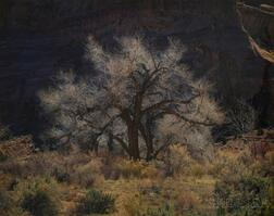 Christopher Burkett (American, b. 1951)      Cottonwood and Sunlight, Canyonlands, Utah