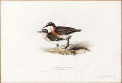 Gould, John (1804-1881) and Elizabeth Gould (1804-1841) Red-Chested Dottrel.