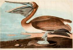 Audubon, John James (1785-1851) Brown Pelican  , Plate CCCCXXI.