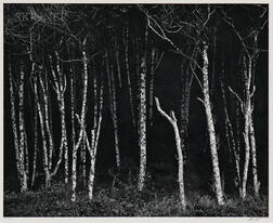 Ansel Adams (American, 1902-1984)      Alders, Prairie Creek Beach, Northern California