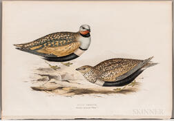 Gould, John (1804-1881) and Elizabeth Gould (1804-1841) Sand Grouse.