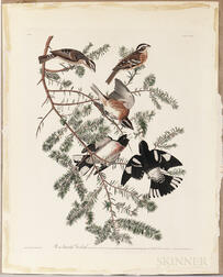 Audubon, John James (1785-1851) Rose-breasted Grosbeak,   Plate CXXVII.