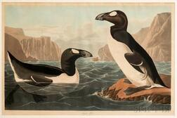 Audubon, John James (1785-1851) Great Auk  , Plate CCCXLI.