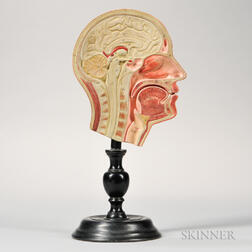 Hand-painted Cross-section Model of a Head