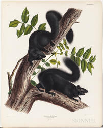 Audubon, John James (1785-1851) Black Squirrel  , Plate XXXIV.