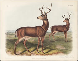 Audubon, John James (1785-1851) Columbian Black-tailed Deer  , Plate CVI.