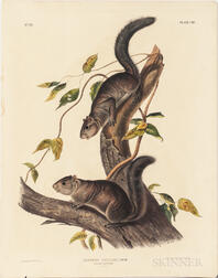 Audubon, John James (1785-1851) Collies Squirrel  , Plate CIV.