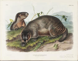 Audubon, John James (1785-1851) Hoary Marmot, The Whistler  , Plate CIII.
