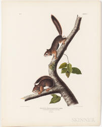 Audubon, John James (1785-1851) Richardson's Columbian Squirrel  , Plate V.