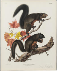 Audubon, John James (1785-1851) Long Haired Squirrel  , Plate XXVII.