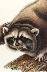 Audubon, John James (1785-1851) Raccoon  , Plate LXI.