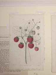 Botanical and Sporting Prints, Eleven Matted.