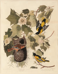 Audubon, John James (1785-1851) Baltimore Oriole  , Plate 12.